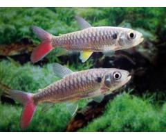 Хальцеус краснохвостый, Халцеус крупночешуйчатый (Chalceus macrolepidotus) 10-12см