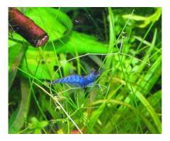 Продам Креветка Blue Dream (Голубая мечта)