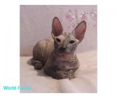 Донской сфинкс, котенок, 4 мес.