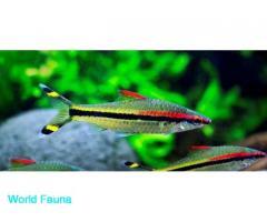 Аквариумная рыба Барбус денисони 6-8 см/Sahyadria denisonii/Puntius