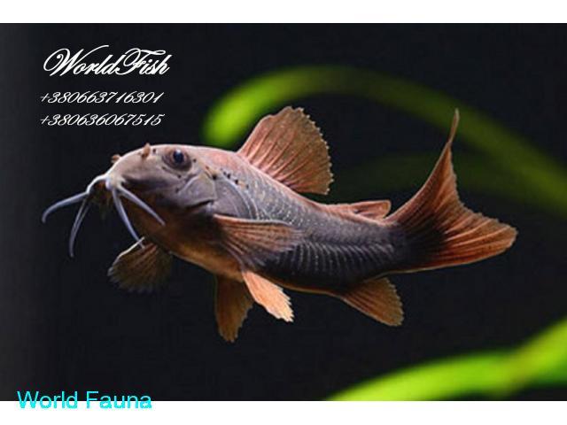 Аквариумная рыбка коридорос венесуэла блек