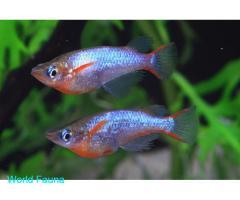 Oryzias woworae (Рисовая рыбка)