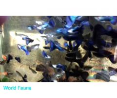 Гуппи синий металик